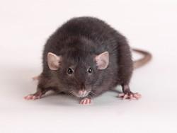 weber-vila-deratisation-toulouse-occitanie-aquitaine-rat-noir
