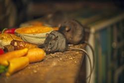 weber-vila-service-deratisation-rat-souris-toulouse-occitanie-aquitaine