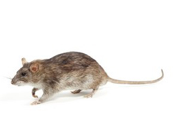 weber-vila-service-deratisation-rat-toulouse-occitanie